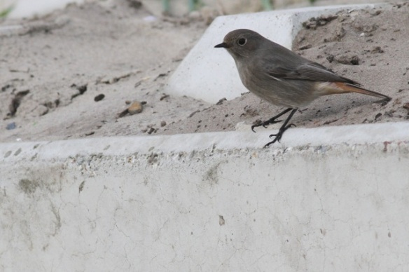 Black redstart, Scheveningen, 18 October 2014