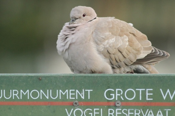 Collared dove, Texel, 5 October 2014