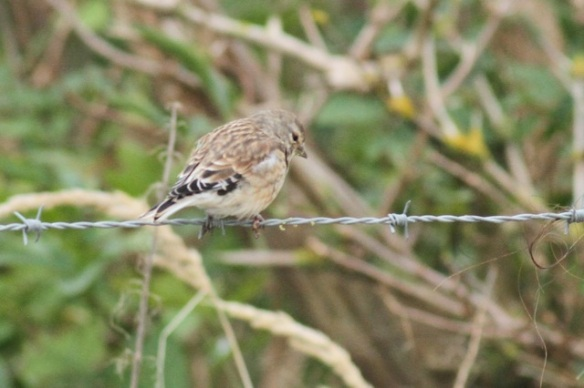 Common linnet, Texel, 6 October 2014
