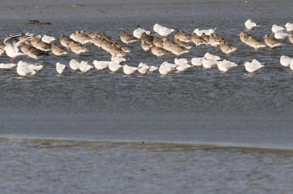 Curlews and black-headed gulls resting, Wagejot, 7 October 2014