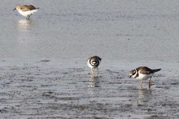 Dunlin and ringed plovers, Wagejot, 7 October 2014