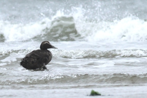 Eider duck female, Texel, 6 October 2014