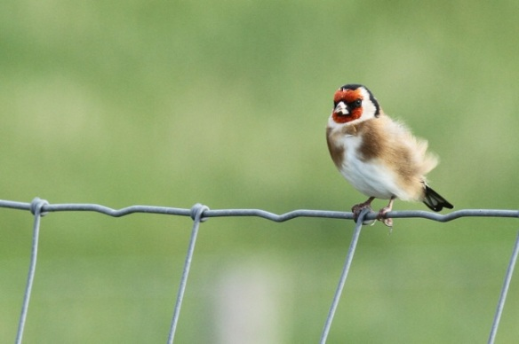Goldfinch, Texel, 5 October 2014
