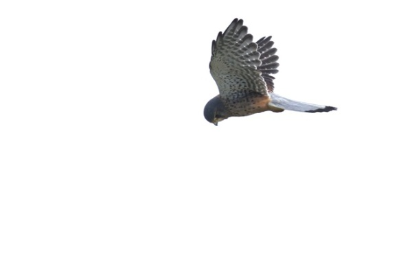 Kestrel hovering, Texel, 5 October 2014
