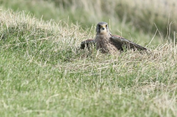 Kestrel in the grass,Texel, 5 October 2014