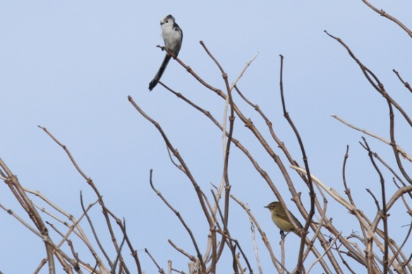 Long-tailed tit and chiffchaff, Texel, 4 October 2014