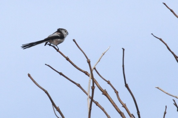 Long-tailed tit, Texel, 4 October 2014