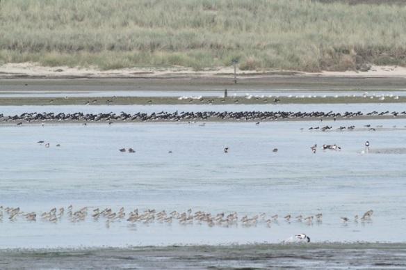 Mokbaai birds, Texel, 4 October 2014