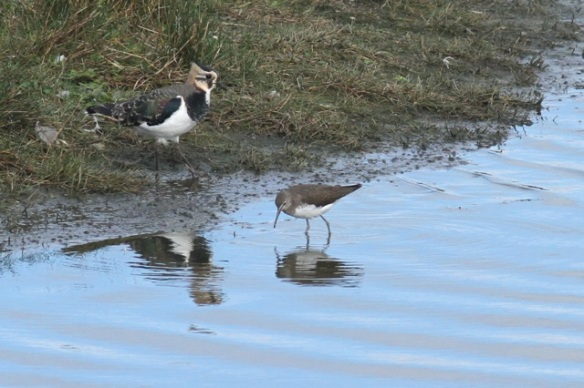 Northern lapwing and green sandpiper, Texel, 5 October 2014