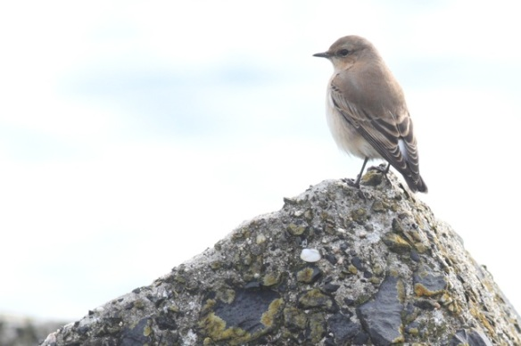 Northern wheatear, Scheveningen, 18 October 2014