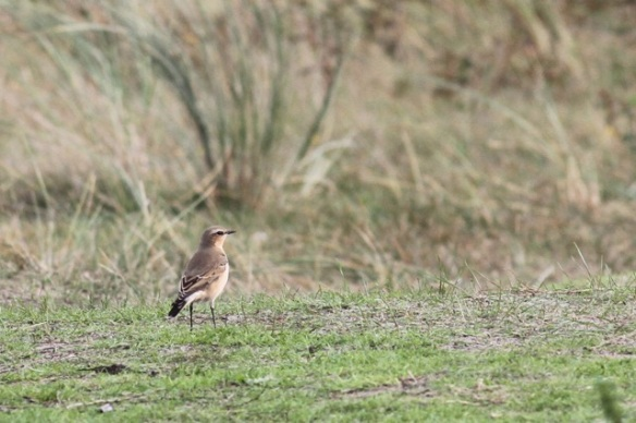 Northern wheatear, Texel, 9 October 2014