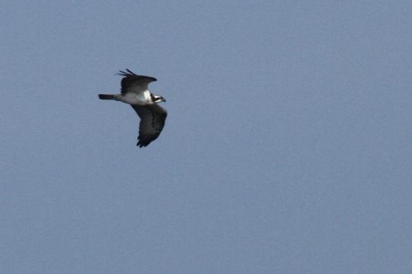 Osprey, Texel, 4 October 2014