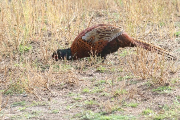 Pheasant male, Texel, 5 October 2014