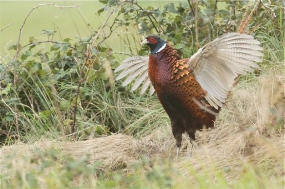 Pheasant male, Texel, 6 October 2014