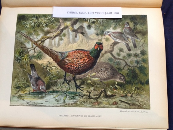 Pheasants, wood pigeons, wrynecks, 19 October 2014