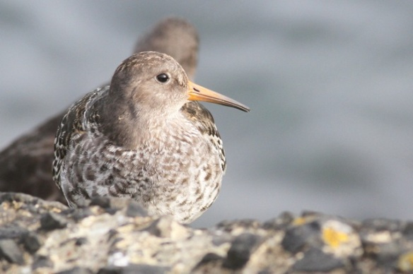 Purple sandpiper, Scheveningen, 18 October 2014
