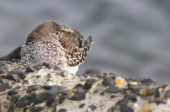 Purple sandpiper sleeping, Scheveningen, 18 October 2014
