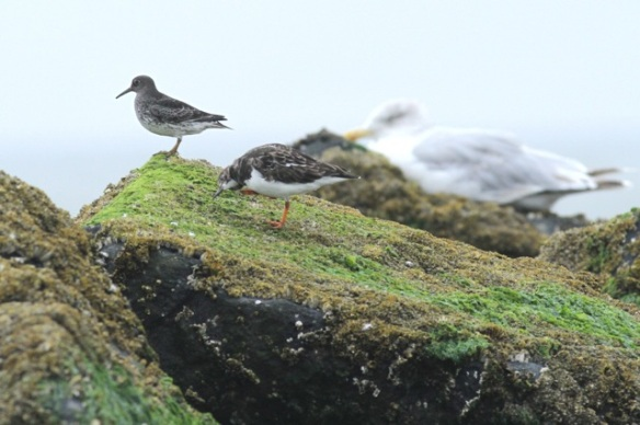 Purple sandpiper, turnstone and herring gull, Texel, 6 October 2014