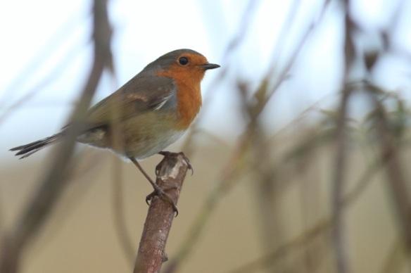 Robin, Texel, 5 October 2014