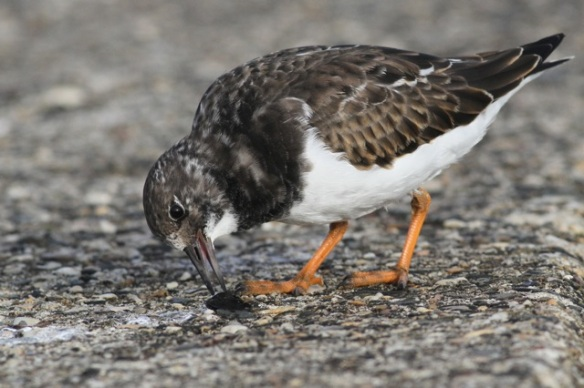 Ruddy turnstone feeding, Scheveningen, 18 October 2014
