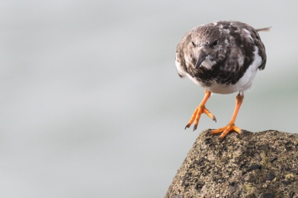Ruddy turnstone, on Scheveningen jetty, 18 October 2014