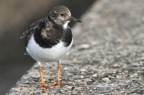 Ruddy turnstone, Scheveningen, 18 October 2014