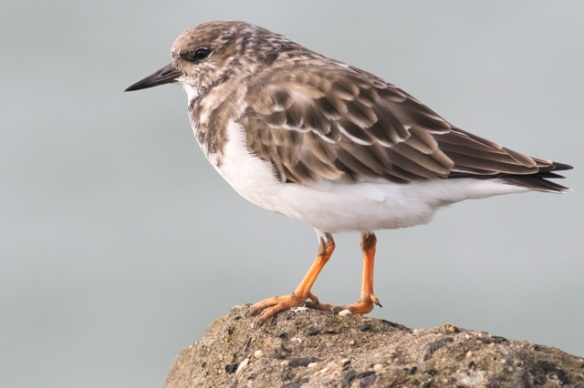 Ruddy turnstone, Scheveningen jetty, 18 October 2014