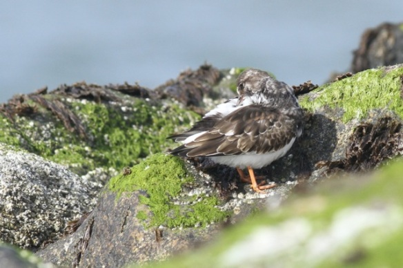 Ruddy turnstone, Texel, 5 October 2014