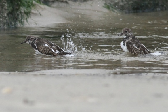 Ruddy turnstones bathing, Texel, 6 October 2014
