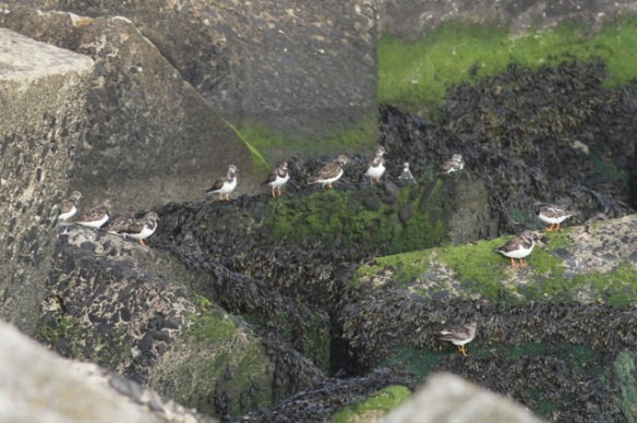 Ruddy turnstones, Scheveningen, 18 October 2014