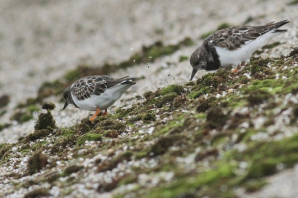 Ruddy turnstones, Texel, 5 October 2014