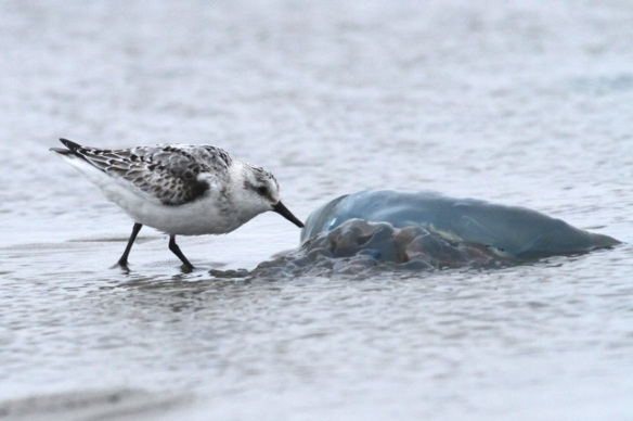 Sanderling and jellyfish, Texel, 6 October 2014