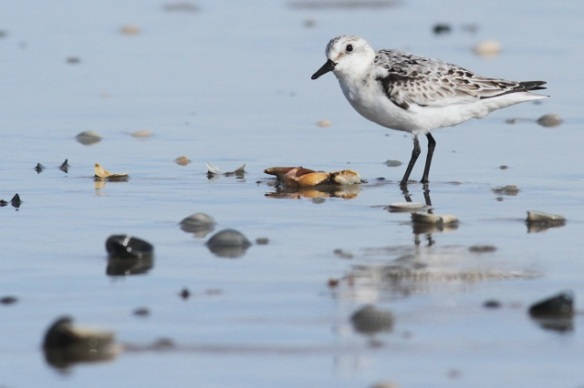 Sanderling and seashells, Texel, 5 October 2014