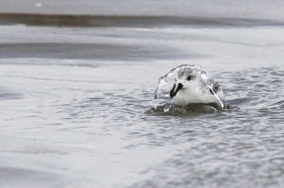 Sanderling bathing, Texel, 9 October 2014
