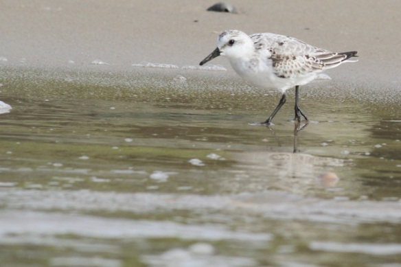 Sanderling, Texel, 5 October 2014