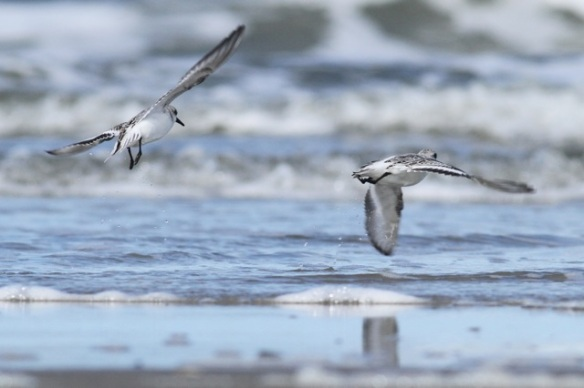 Sanderlings flying, Texel, 5 October 2014