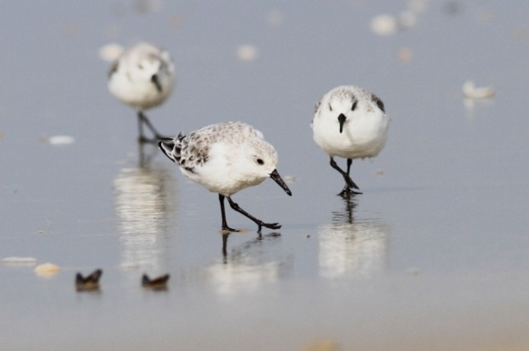 Sanderlings, Texel, 9 October 2014