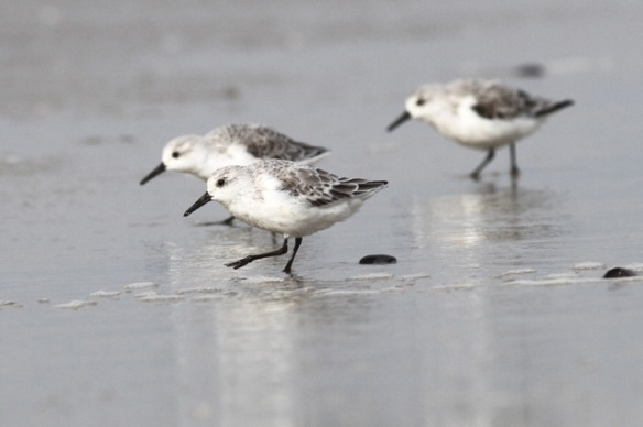 Sanderlings, Texel, near tide line, 9 October 2014