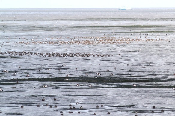 Shelducks, Texel, 7 October 2014