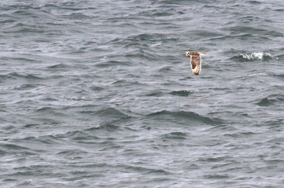Short-eared owl, North Sea, Scheveningen, 18 October 2014