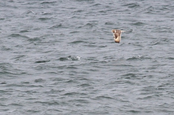 Short-eared owl, Scheveningen, 18 October 2014