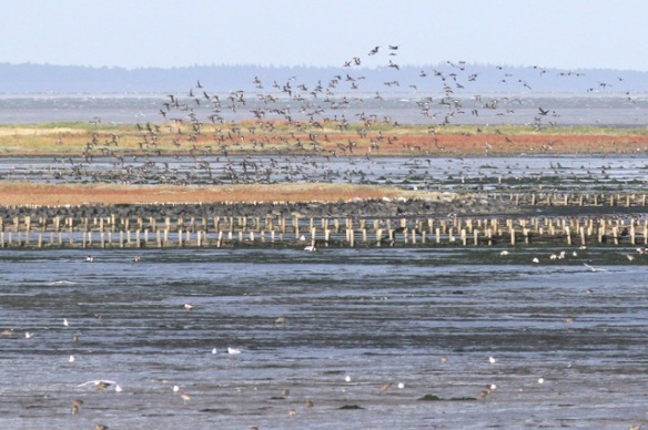 Wadden Sea birds, Texel, 7 October 2014