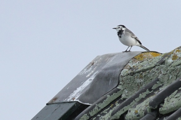 White wagtail, Texel, 5 October 2014
