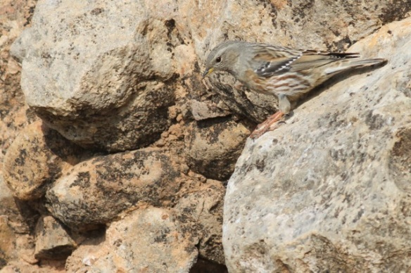 Alpine accentor, looking down, 2 November 2014