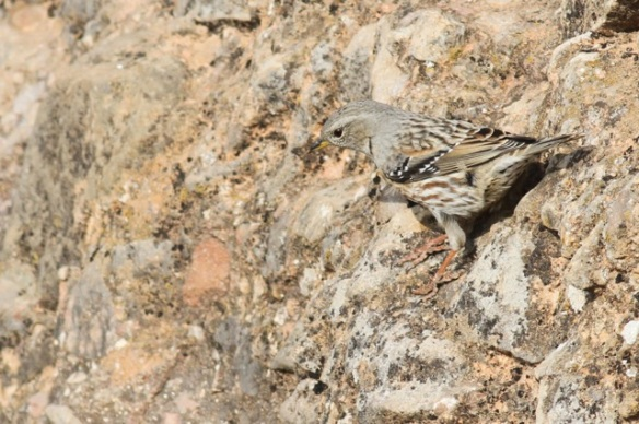 Alpine accentor, looking down again, 2 November 2014
