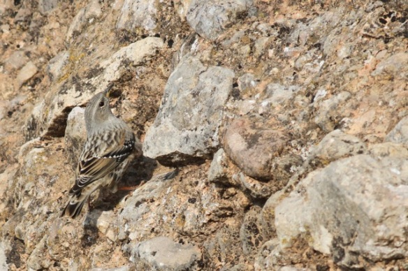 Alpine accentor, looking up again, 2 November 2014