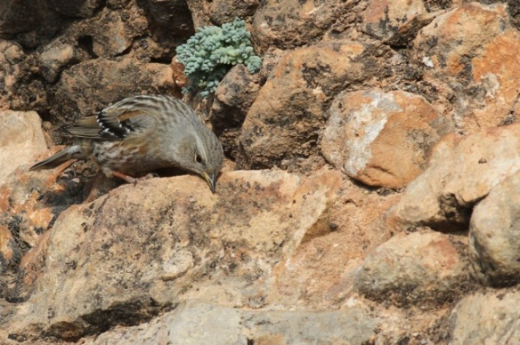 Alpine accentor near plant, 2 November 2014