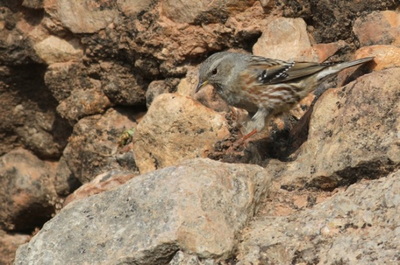 Alpine accentor on rock, 2 November 2014