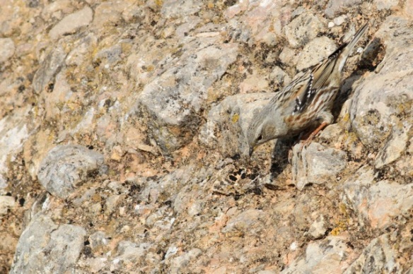 Alpine accentor, still looking down, 2 November 2014
