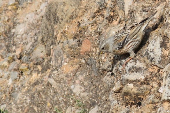 Alpine accentor, still looking down again, 2 November 2014